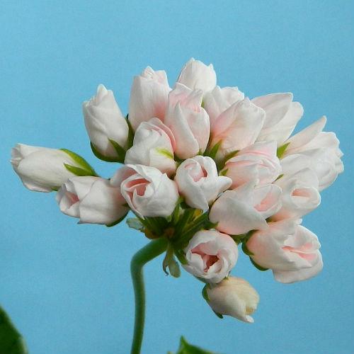 Картинка цветы тюльпановидной пеларгонии