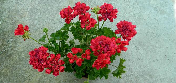 картинка к статье о листьях тюльпанок