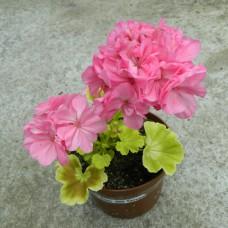 Brookside Rosa