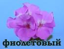 Сиренево-фиолетовые
