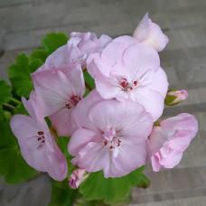 ТАИРА-Крымская Роза