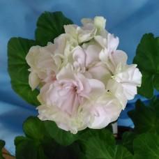 Ирида Яблони в Цвету