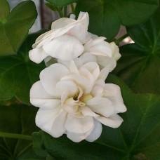 PAC White Pearl
