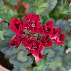 Brixworth Rosebud