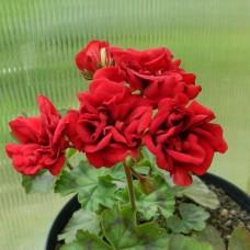 Garnet Rosebud