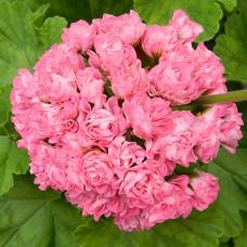 Swanland Pink-Australien Pink Rosebud