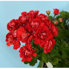 Vectis Rosebud