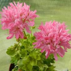 Pink Vectis Sparkler